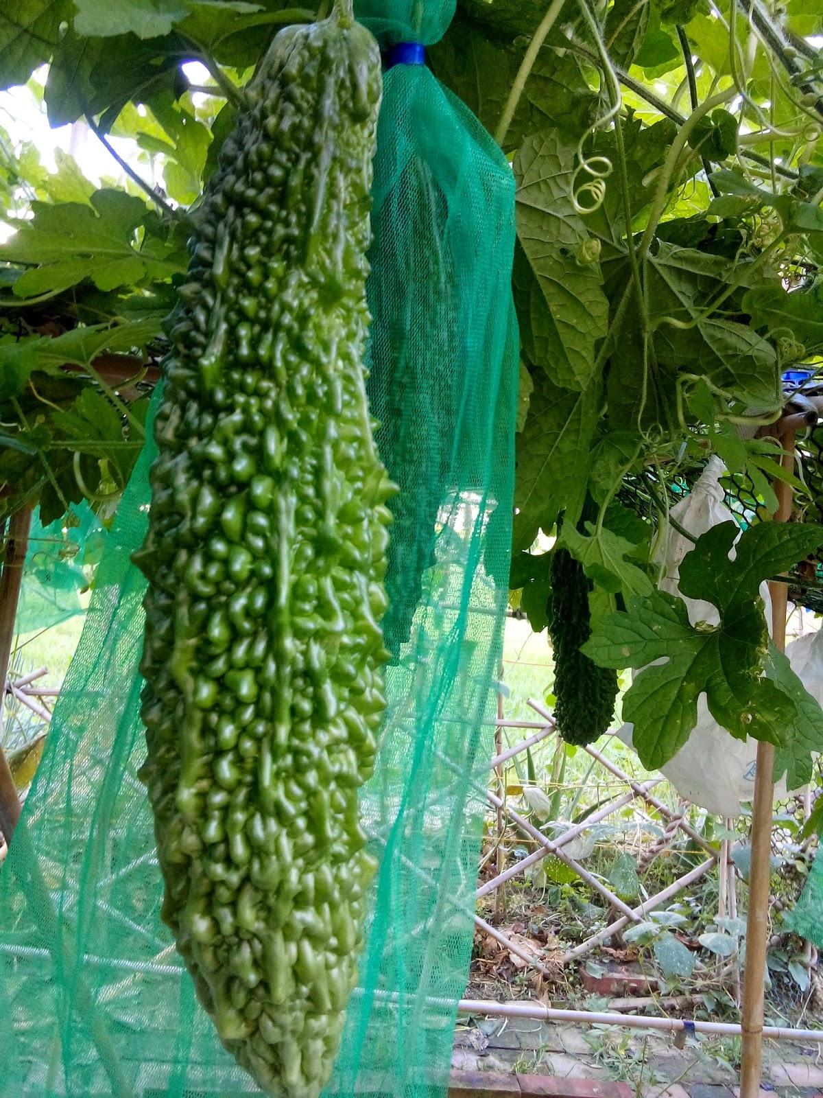 業餘農夫的隨意種種: 苦瓜的種植